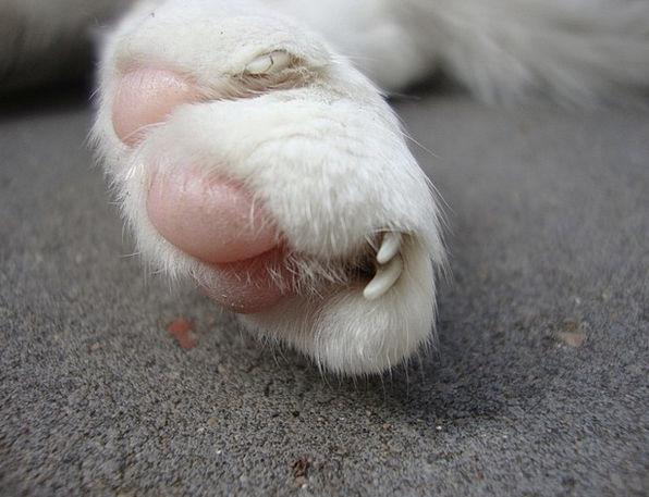Cat Feline Claw Close Near Talon