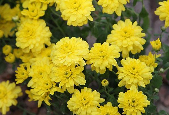 Chrysanthemum Wildflower Weed Flowers Autumn Fall
