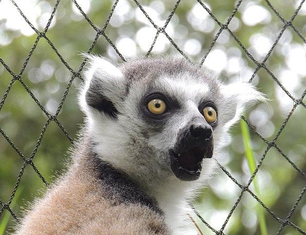Lemur Faunae Maki Animals Madagascar Wild Zoo Roug