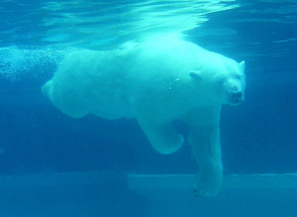 Polar Glacial Tolerate Swimming Spinning Bear Wate