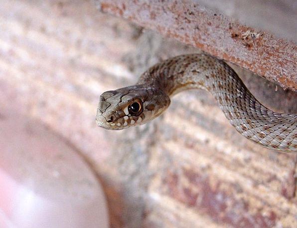 Snake Serpent Culebra Bastarda Malpolon Monspessul