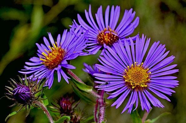Aster Landscapes Floret Nature Blue Azure Flower M