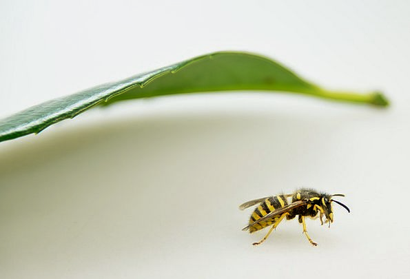 Wasp Bug Close Near Insect Nature Conservation Mac