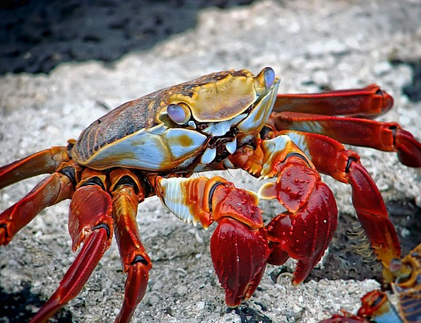 Crab Physical Aquatic Water Animal Lobster Archipe