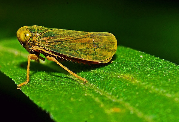 Leafhopper Instruction Insect Macro Biology Fauna