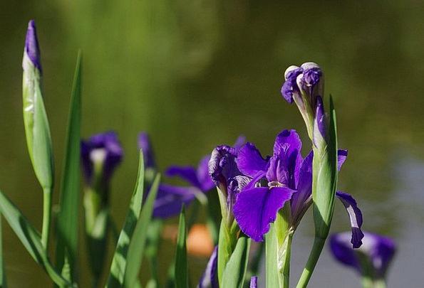 Iris Landscapes Azure Nature Flowers Plants Blue F