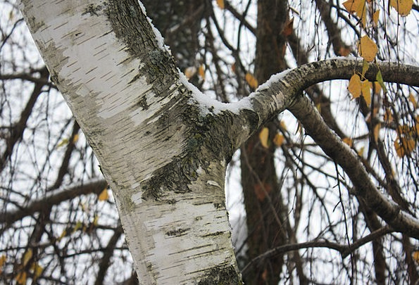 Birch Cane Landscapes Sapling Nature Branch Divisi