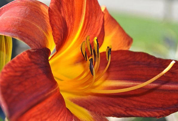 Day Lilly Landscapes Carroty Nature Flower Floret