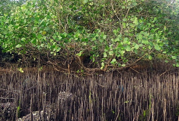 Mangrove Species Landscapes Nature Tidal Forest Br