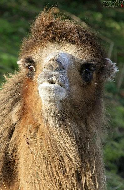 Camel Beige Zoo Menagerie Desert Ship
