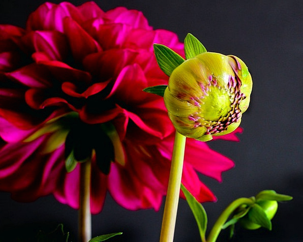 Dahlia Landscapes Sprout Nature Flower Floret Bud