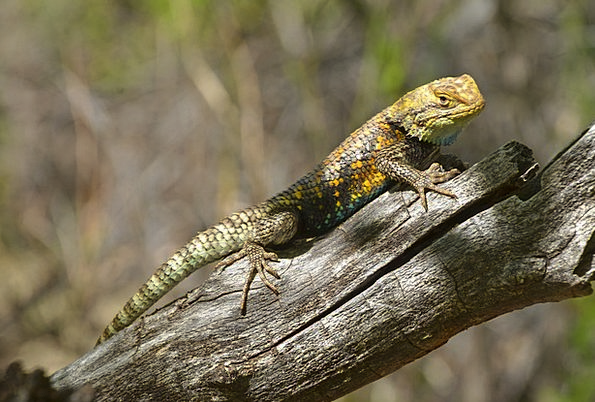 desert spiny lizard landscapes nature wood timber reptile