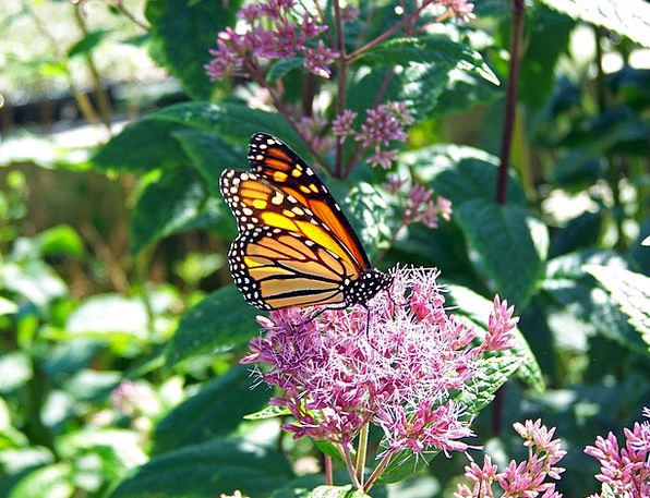 Butterfly Ruler Insect Monarch Delicate Wings Anne