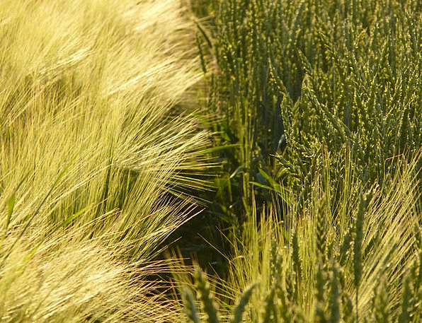 Wheat Drink Food Wheat Spike Wheat Field Seed Spik