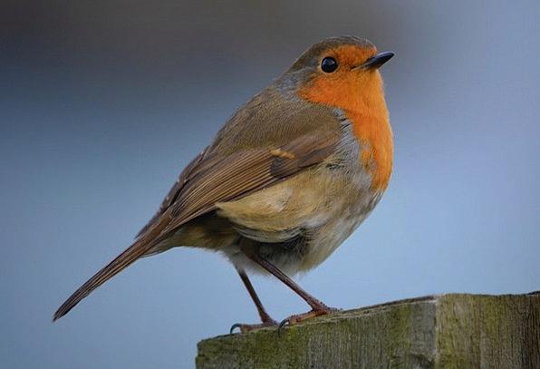 Robin Fowl Nature Countryside Bird