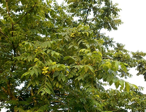 Walnut Trees Chopped Walnuts Walnut Arboretum Blue