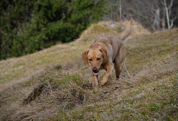 Dog Canine In Motion Labrador Meadow Field Dog On