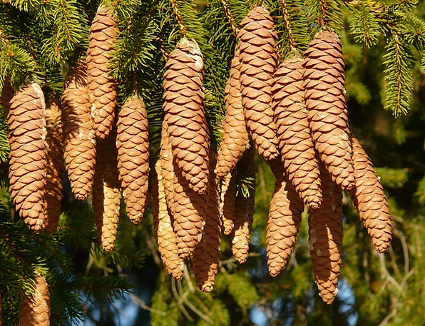 Pine Cones Blow Tree Sapling Tap Conifer Picea Com