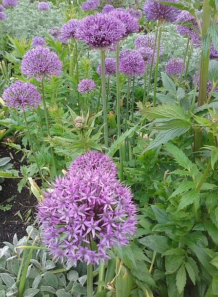 Early Summer Plants Flower Bed Flowers Purple Elab