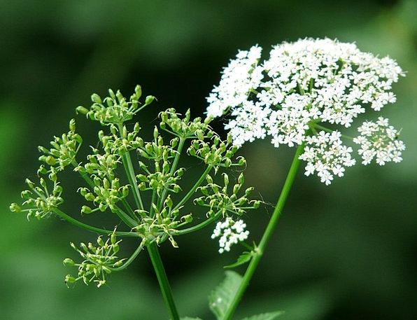 Giersch Weed Wildflower Umbelliferae Wild Vegetabl