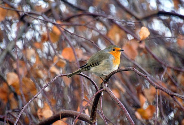 Robin Landscapes Faunae Nature Nature Countryside