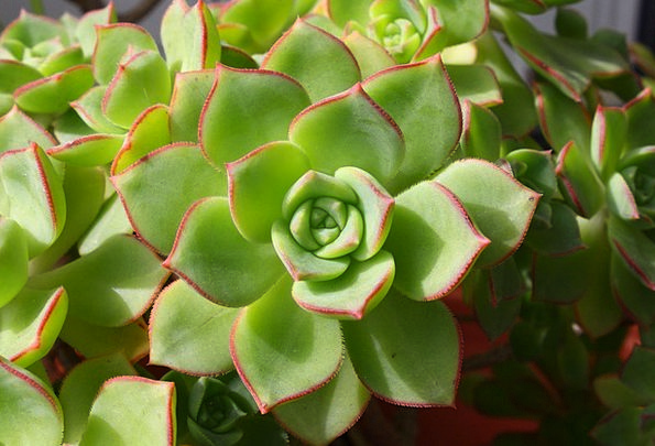 Succulent Juicy Landscapes Nature Horticulture Ech