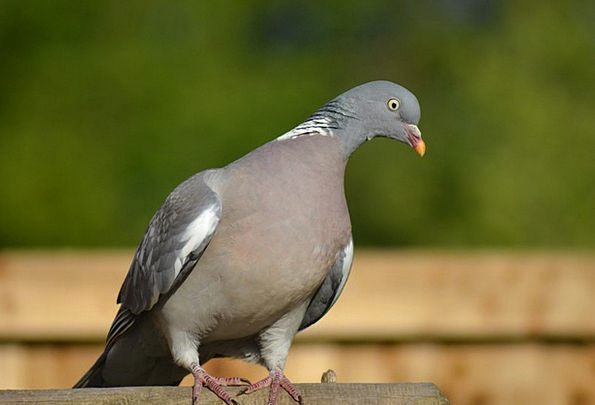 Woodpigeon Mark Side-Forward View Pigeon Perched B