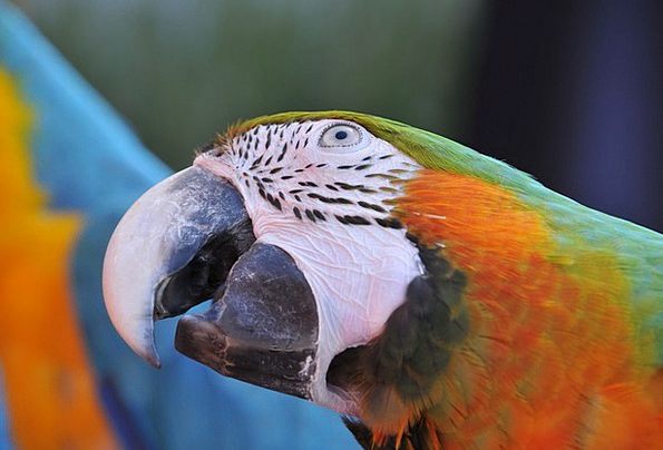 Ara Imitator Bird Fowl Parrot Color Hue Beak Bill