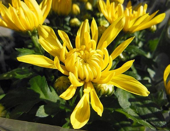 Plants Florae Chrysanthemums Flowers Beautiful Yel