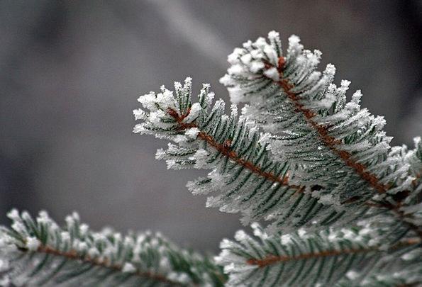 Needles Pointers Season Frozen Ice-covered Winter