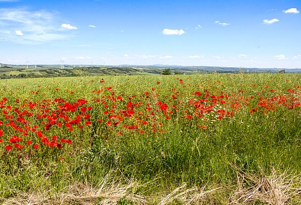 Poppy Meadow Landscapes Nature Klatschmohn Poppy F