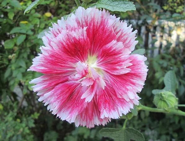 Holyhock Plot Flower Floret Garden Red Bloodshot W