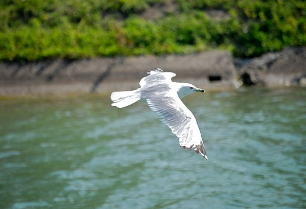 Seagull Fowl Fly Hover Bird Avian Wings Annexes Fr