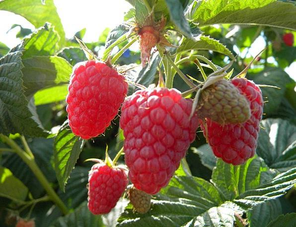 Berries Drink Food Fruit Ovary Blackberry Organic