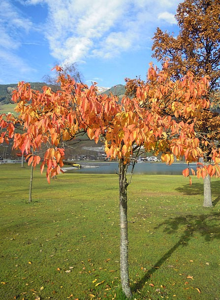 Fall Foliage Leaves Greeneries Deciduous Tree Colo