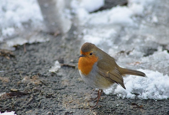 Robin Fowl Red Robin Bird