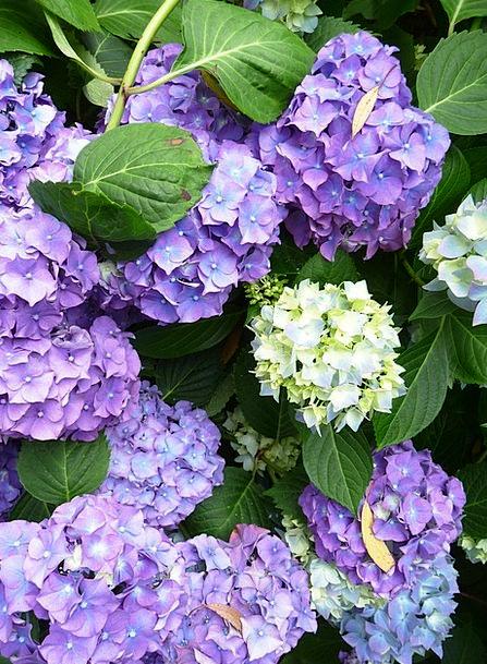 Hydrangea Landscapes Nature Flower Floret Rustic F