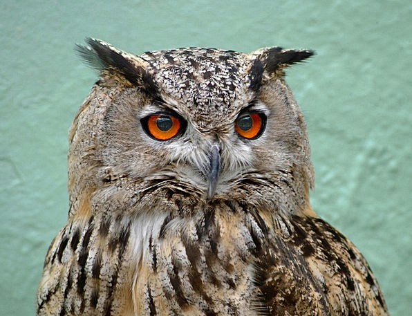 Owl Fowl Wildlife Nature Bird Eyes Alone Unaccompa