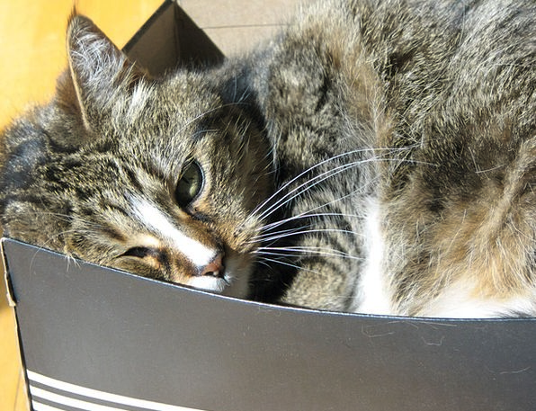Cat Catlike Tabby Feline Box Container Sleeping Su