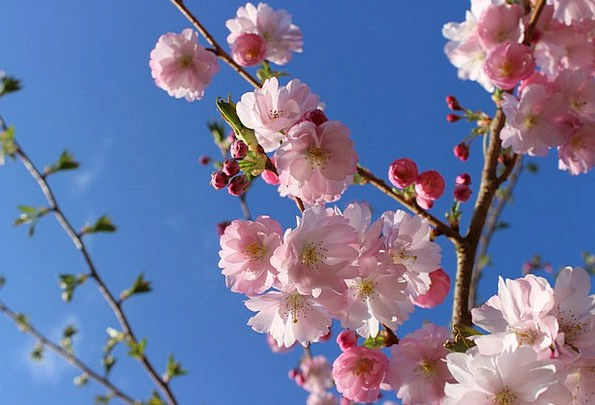 Cherry Blossom Japanese Cherry Trees Cherry Blossoms Pink