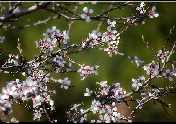 Flowers Plants Pink Blossoms Cherry Branch Divisio
