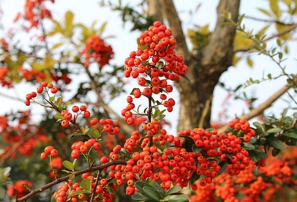 Red Berries Drink Ovary Food Harvest Crop Fruit Nu
