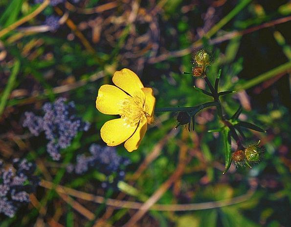 The Buds Landscapes Floret Nature Ranunculus Repen