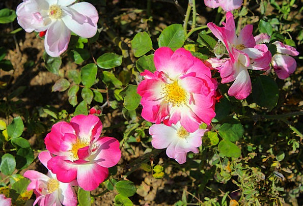 Wild Rose Hot Pink Rose Bush Flowers Plants Flora