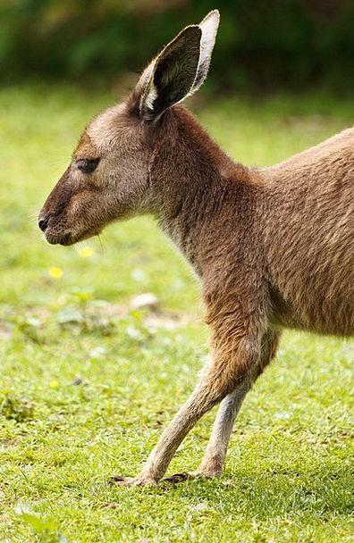 Animal Physical Australian Australia Mammal Brown