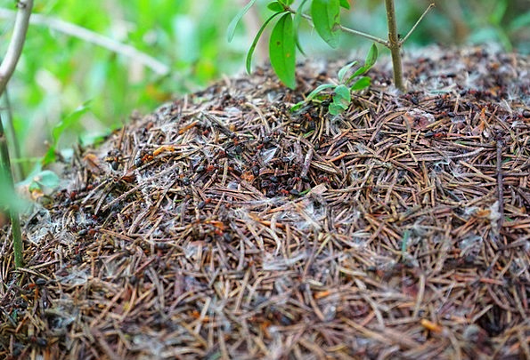 Forest Ant Hill Formica Polyctena Wood Ants Ant Re