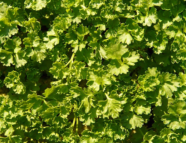 Parsley Basil Landscapes Nature Green Soup Kitchen