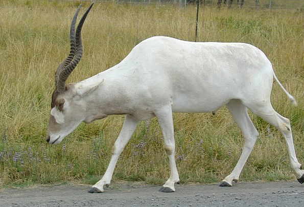 Addax White Snowy Antelope Close-Up Antlers Horns