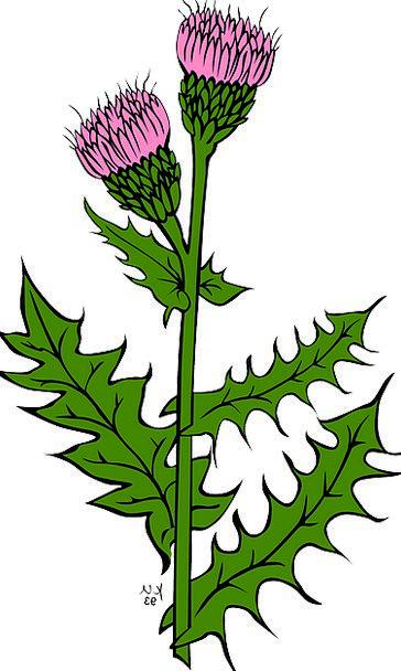 Flowers Milk Thistle Thistle Scotland Purple Elabo