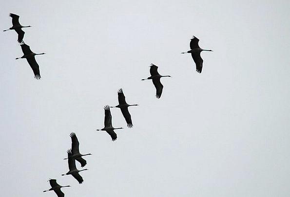 Cranes Hoists Migratory Birds Flock Of Birds Colle
